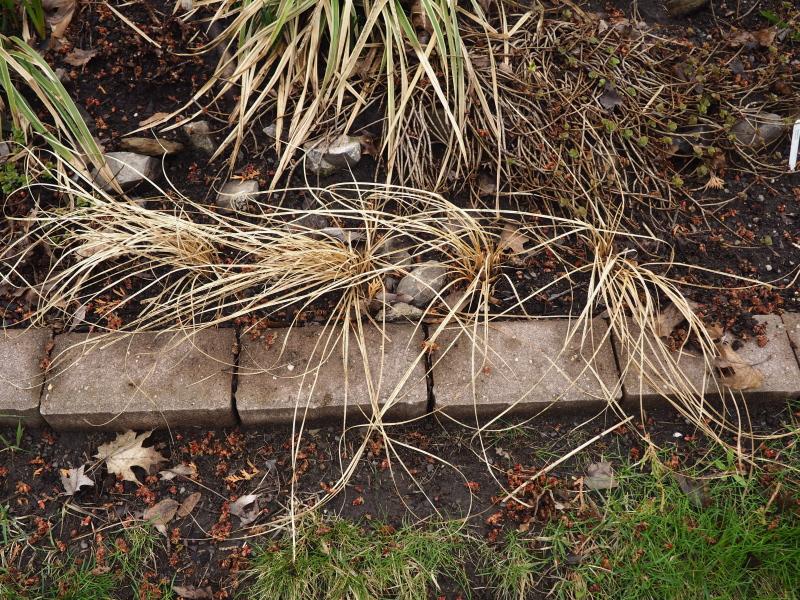 Carex testacea 47714016492_a64c2f244a_o