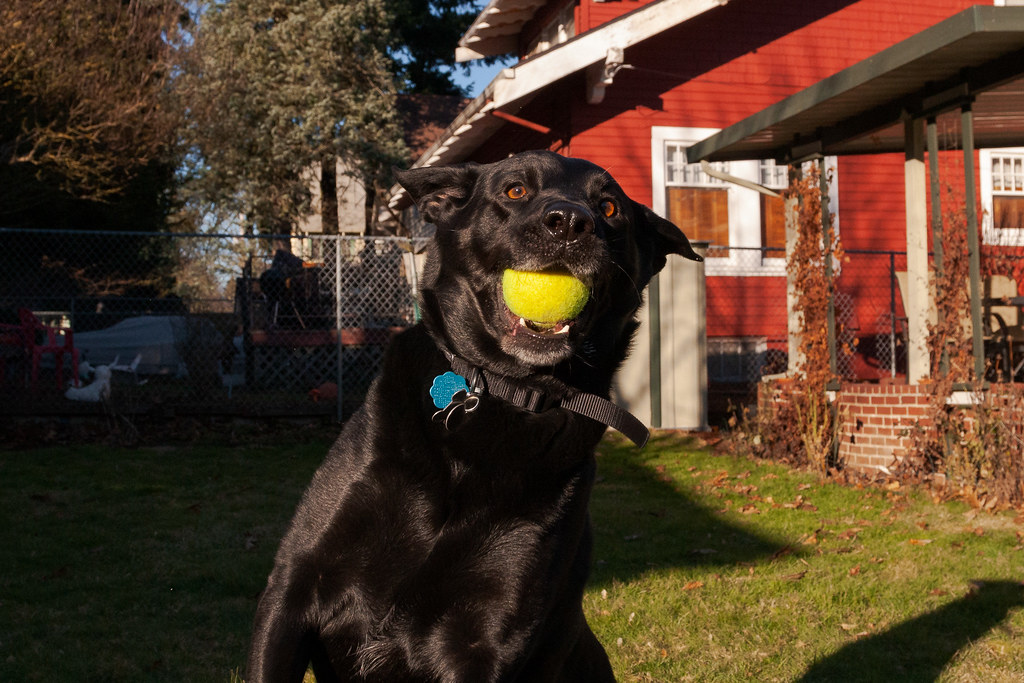 Our dog Ellie catches a tennis ball in her mouth as we play in our backyard in Portland, Oregon