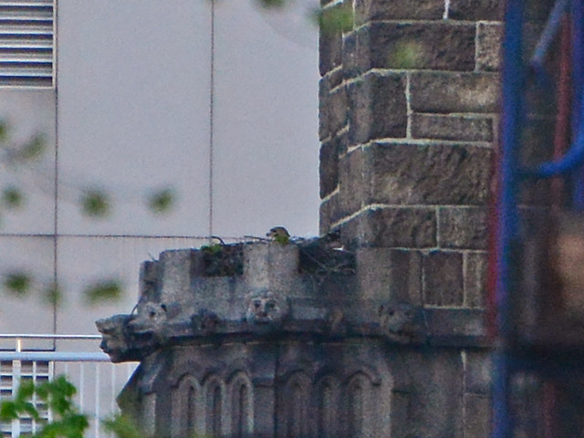 Hawk in Nest - 2085