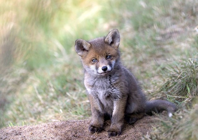 Young (very young) fox