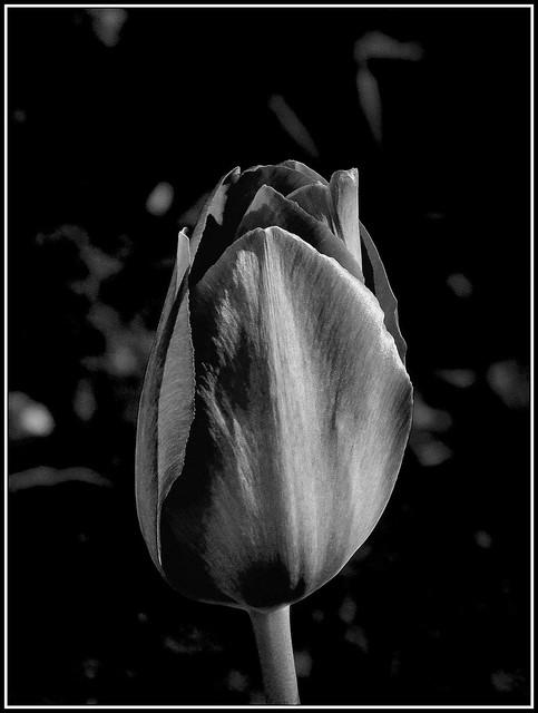 Tulipan B&W.