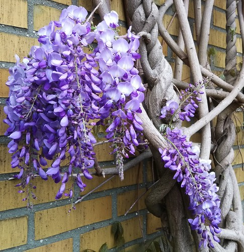 Wisteria sinensis/Blåregn | by Ingrid Friis Photo
