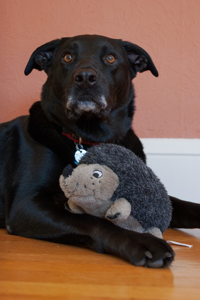 Our dog Ellie looks up while playing with her stuffed hedgehog dog toy