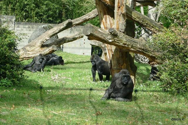 18-westliche Flachlandgorillas