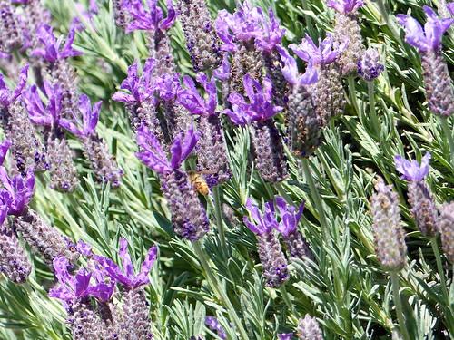 Lavender honey   EXPLORE #133, 5.4.19.