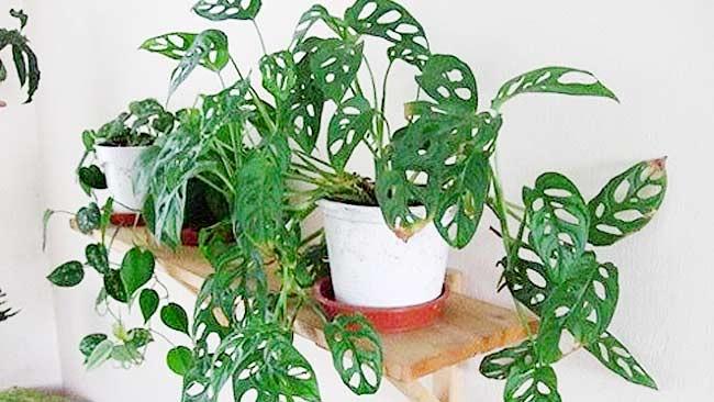 11 Jenis Philodendron Paling Populer di Tanah Air, Klik