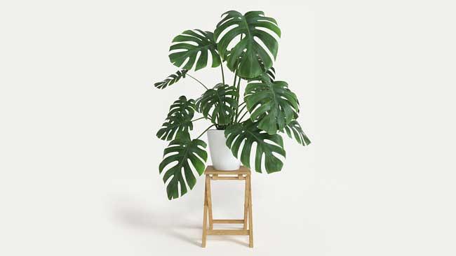 Jenis Philodendron monstera-deliciosa