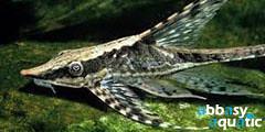 royal twig whiptail catfish