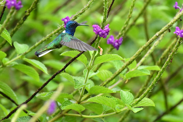 White-necked Jacobin. Arenal Observatory Lodge. Alajuela, Costa Rica.
