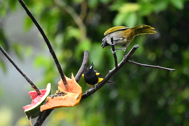 Black-cowled Oriole and Buff-throated Saltator interaction. Arenal Observatory Lodge. Alajuela, Costa Rica.