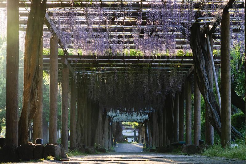 早朝の名古屋城・藤の回廊