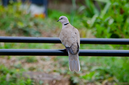Collared dove on fence