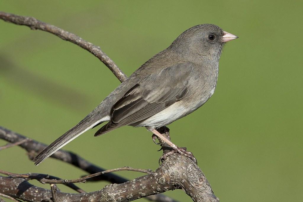 Quelques oiseaux de ma cour hier 47724921232_cee7eac99d_b