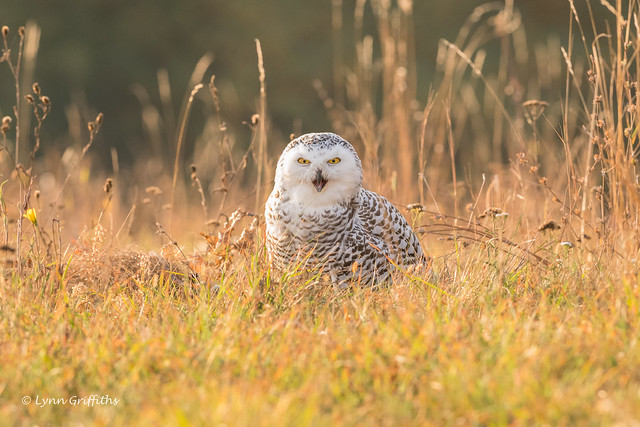 Snowy Owl - Close enough! D85_6146.jpg