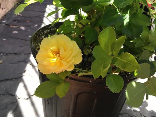Sky's the Limit rosebush