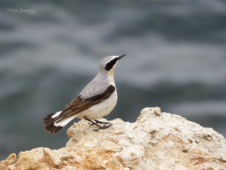 Northern Wheatear, ♂