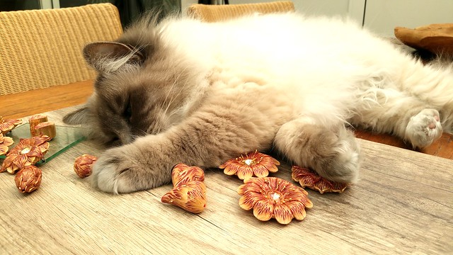 Birman Cat Pictures and Information - Cat-Breeds com