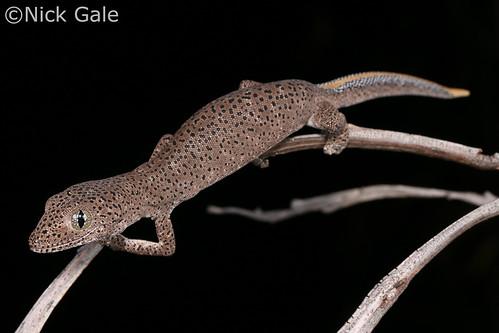 Northern Golden-tailed Gecko (Strophurus taenicauda albiocularis) | by Nick Gale