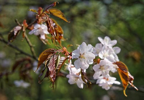 White sakura | by ALEX_V_65