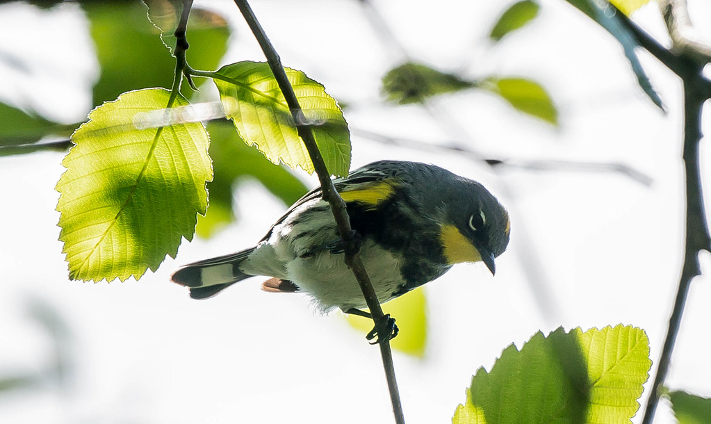 Yellow rump warbler (1 of 1)