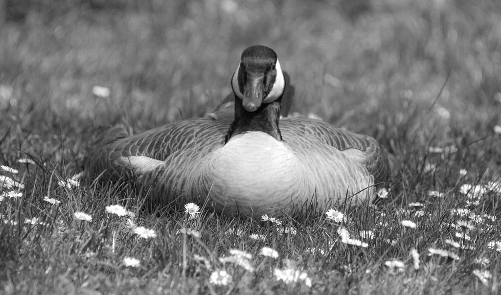 B & W goose (1 of 1)