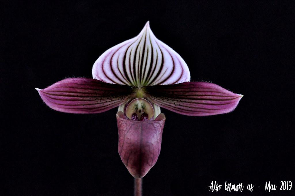 Paphiopedilum purpuratum 47729069462_d5b228d480_b