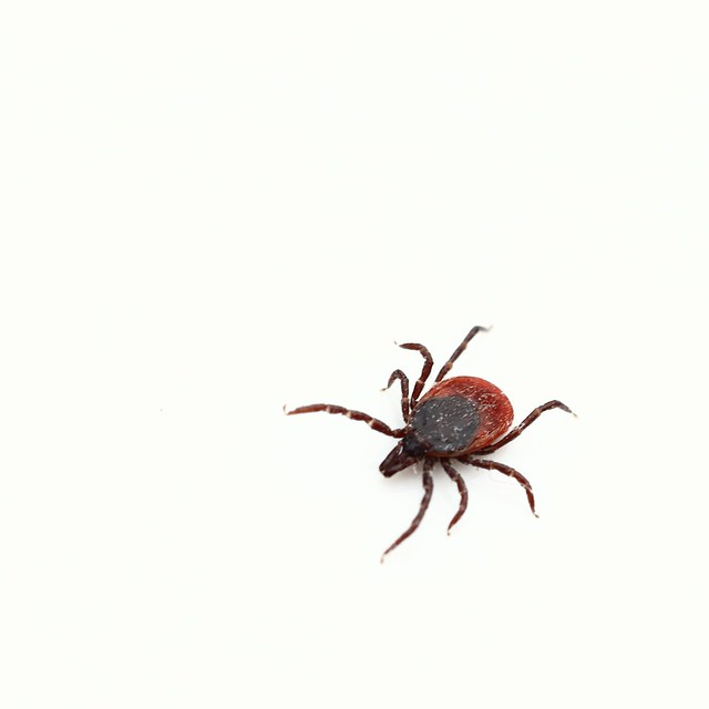 Who loves ticks ?