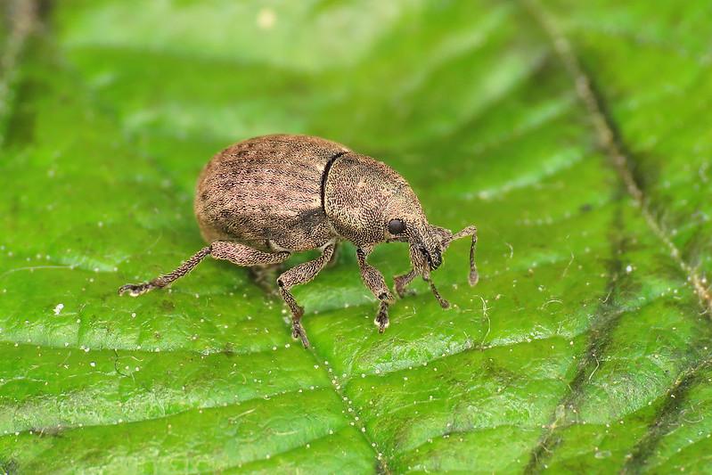 Tropiphorus terricola