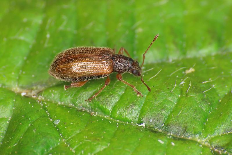 Phyllobius oblongus - Brown Leaf Weevil