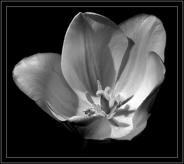 Biały tulipan.