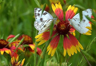 Two butterflies and a flower!