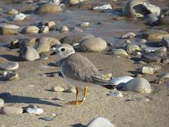 Piping Plover/ Sleeping Bear Dunes/ 8-12-2015