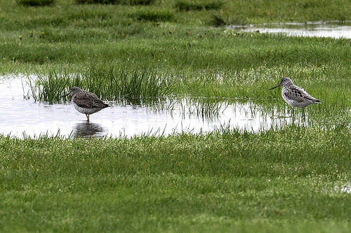 NY: Common Greenshank (left) and Greater Yellowlegs, 5357 | by donna lynn
