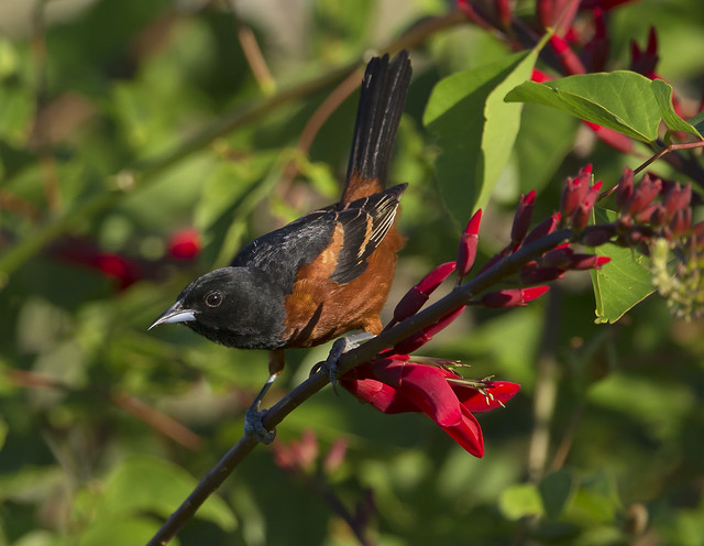 Orchard Oriole on Coral Bean
