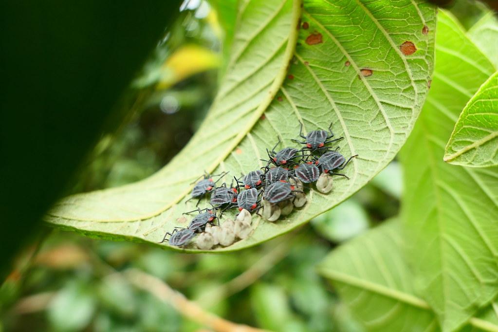 剛孵化的一齡若蟲體長約5mm,呈現橢圓形,體色偏紅色至深灰色。
