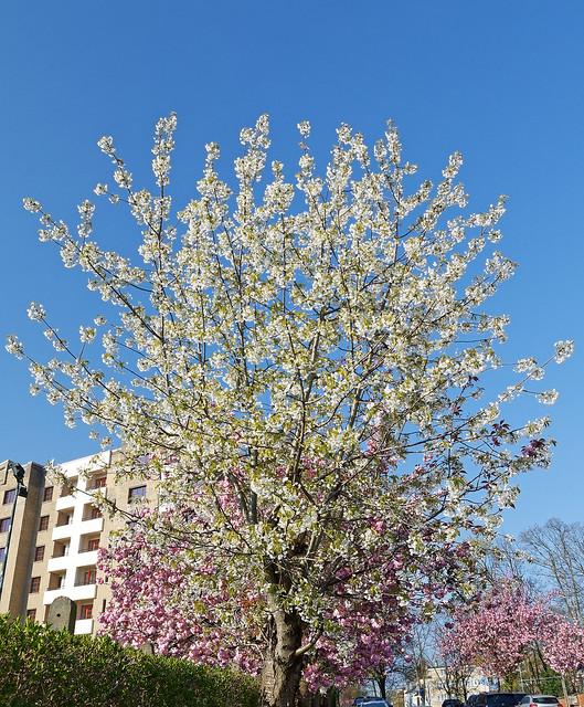 prunus serrulata (Japanese Cherry - cerisiers du Japon - Japanse Sierkers)