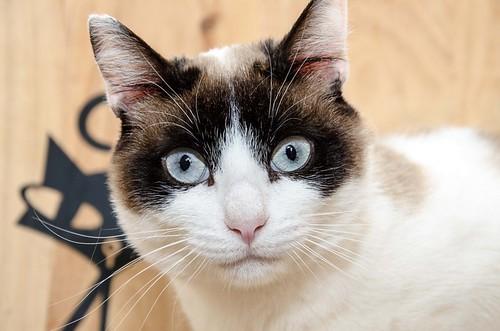 Dora, gata cruce Snowshoe dulce y habladora esterilizada, nacida en Marzo´18, en adopción. Valencia. 47734407022_1be2b8c16c