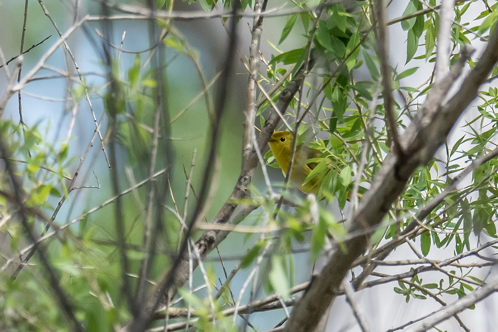 Least Flycatcher and Yellow Warbler-25