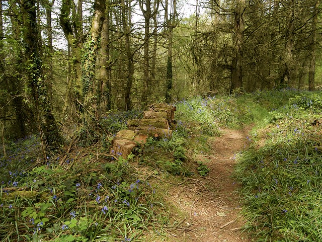 The Welsh Bluebell Wood