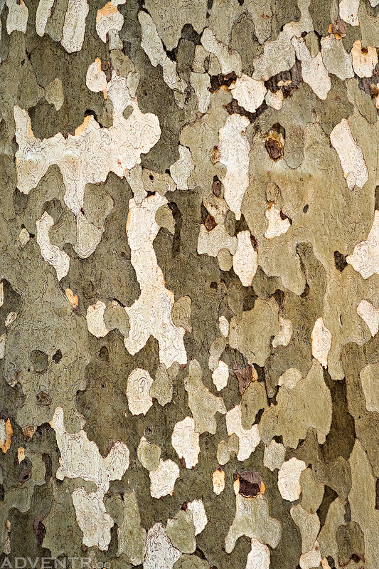 Arizona Sycamore Bark