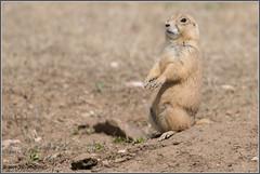 Alert Prairie Dog 1805