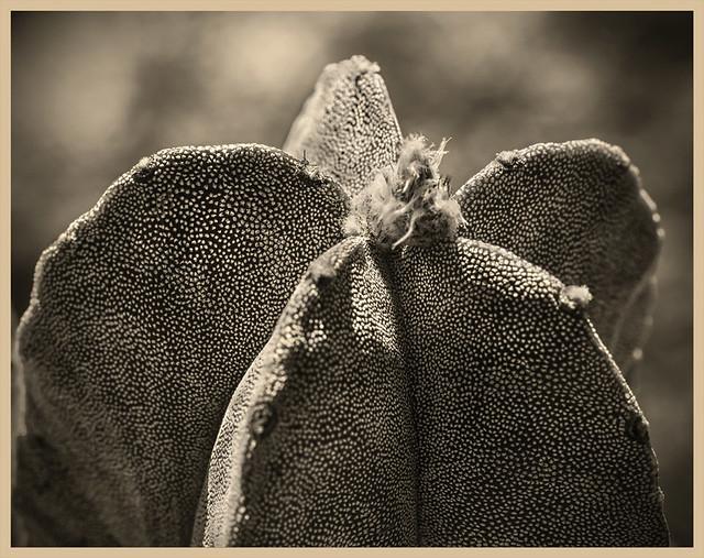 Cacti #7 2019; Bishop's Cap-Astrophytum myriostigma