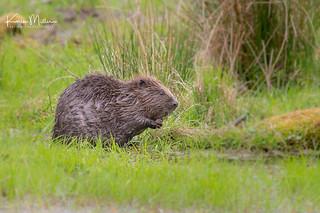 Beaver, Bamff, Perthshire
