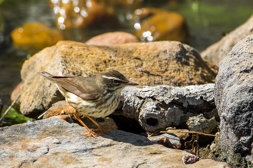 Louisiana Waterthrush | by Mostly Wildlife