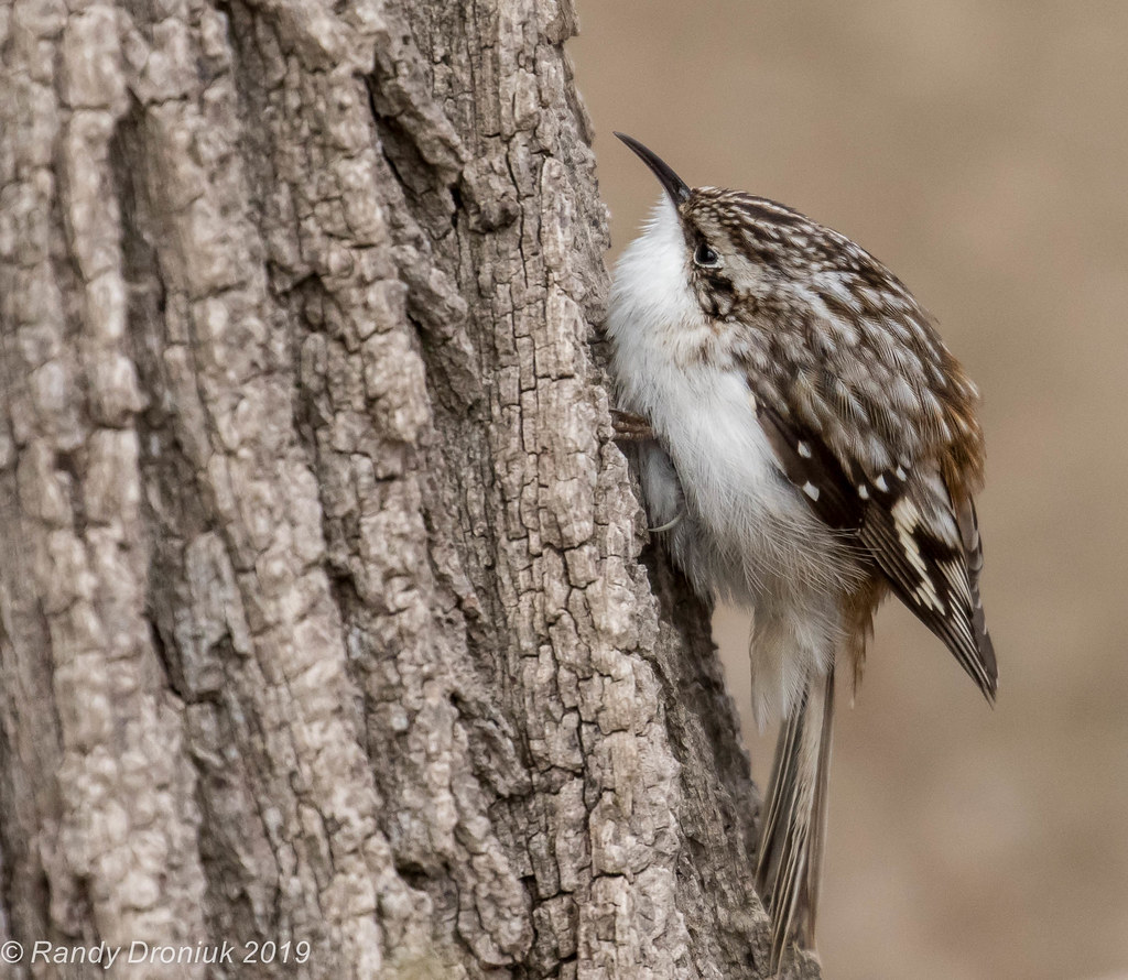 The bug hunter | This Brown Creeper landed 10 feet in front