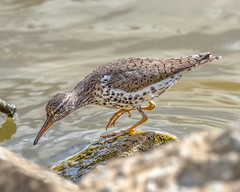 Spotted Sandpiper hunting crabs