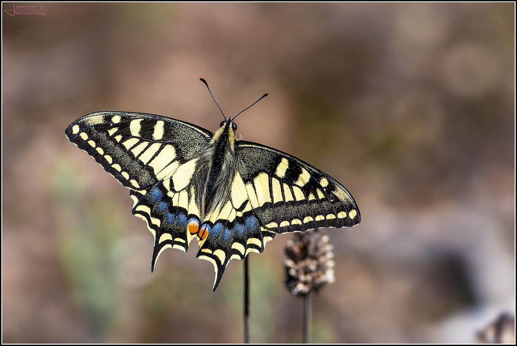 Papilio machaon_3212
