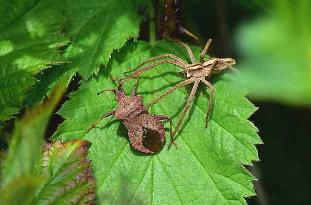 Dock Bug/Nursery Web Spider