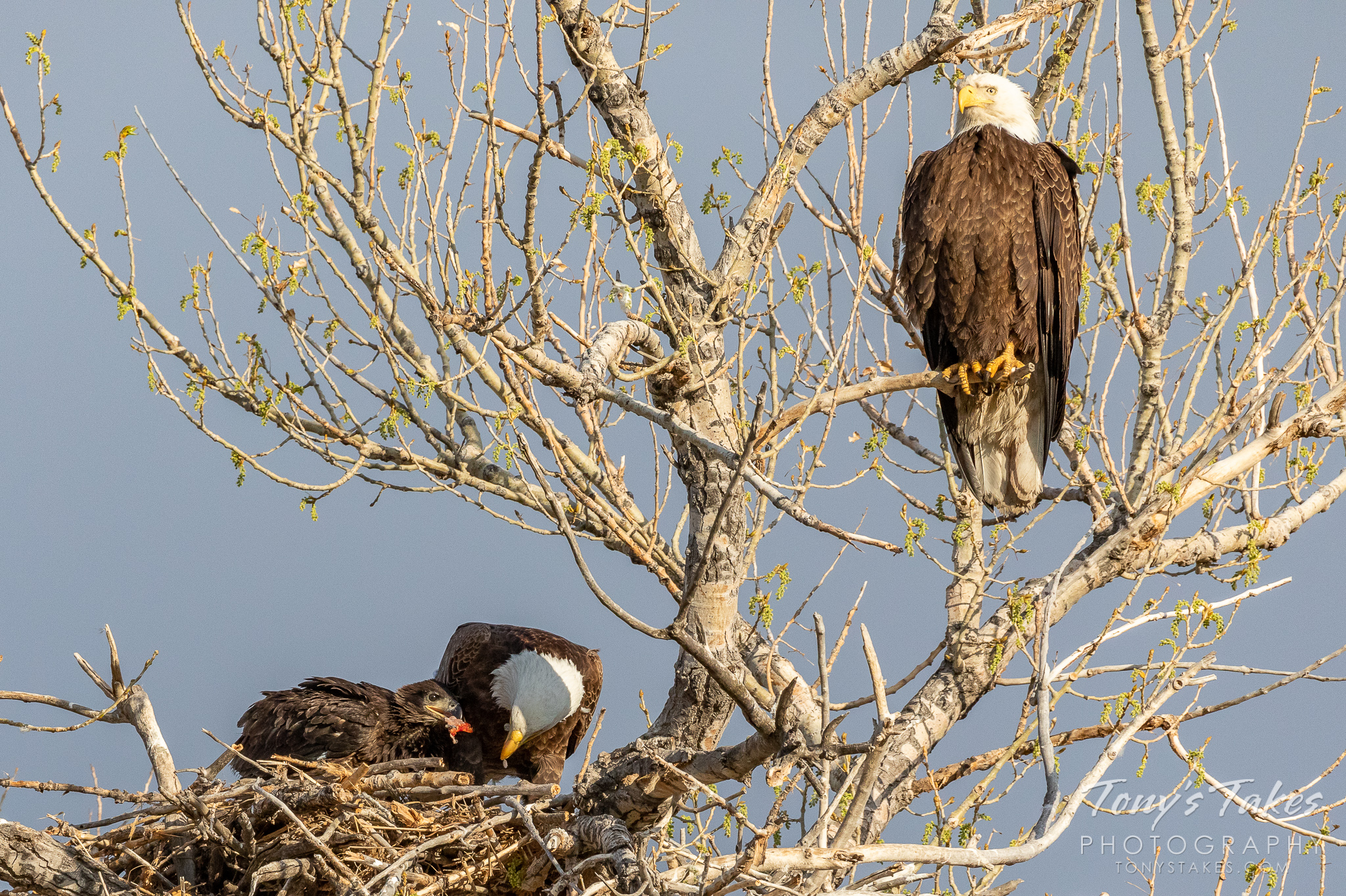 A bald eagle returns to its nest with a fish for the family. (© Tony's Takes)