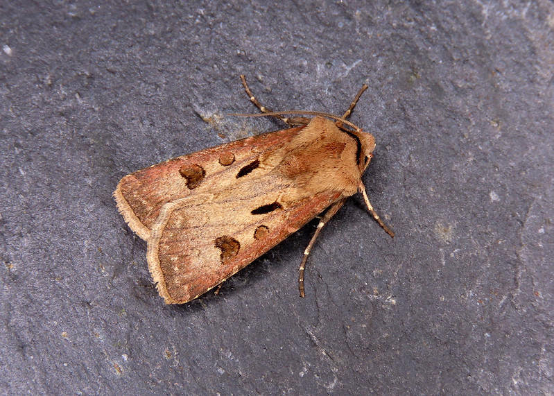 73.317 Heart & Dart - Agrotis exclamationis